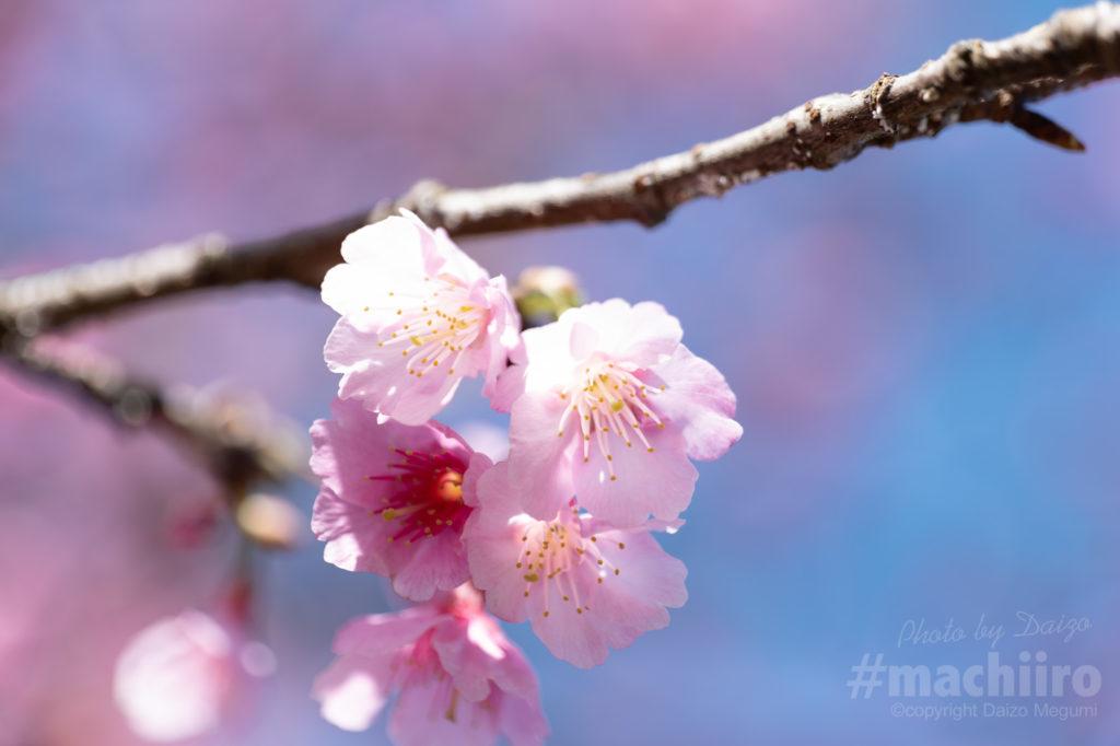 奄美大島桜2021 Machiiro 記事写真 14