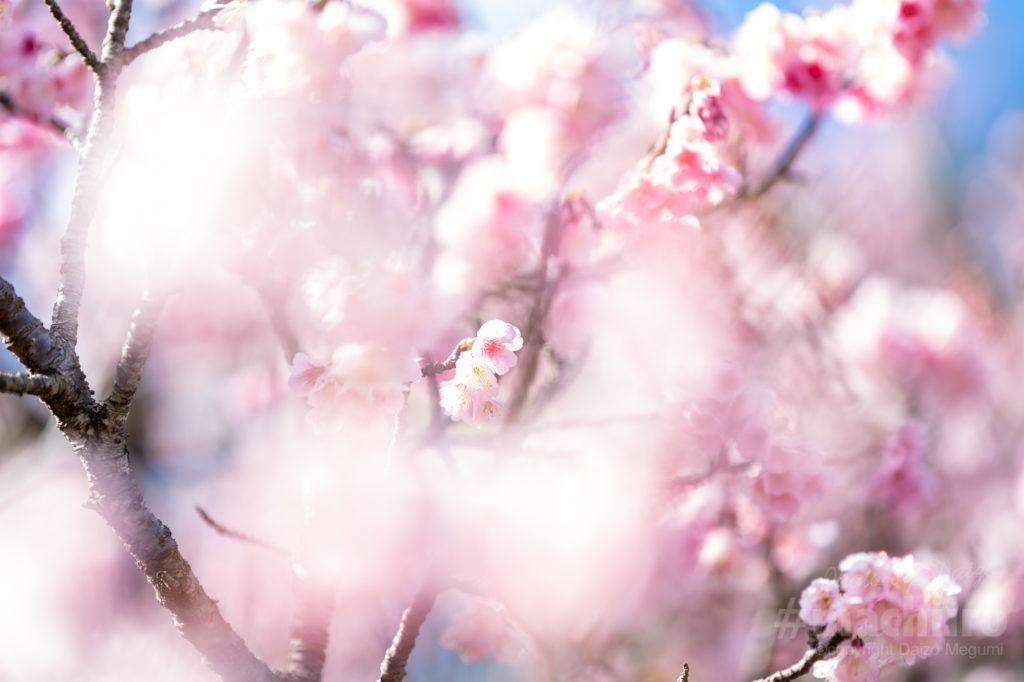 奄美大島桜2021 Machiiro 記事写真 3