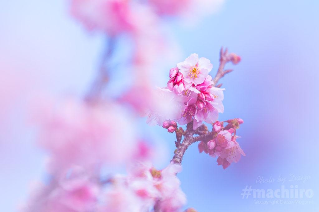 奄美大島桜2021 Machiiro 記事写真 5