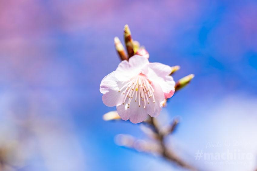 奄美大島では桜がピークです